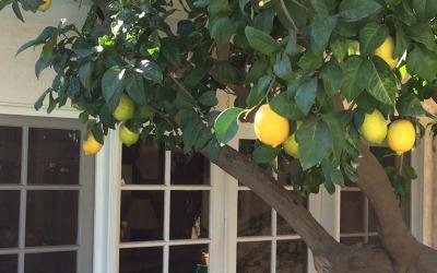 Lemon tree outside Guest House