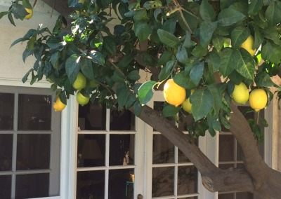 Lemon tree outside Guest House